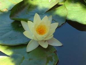 fleur-lotus