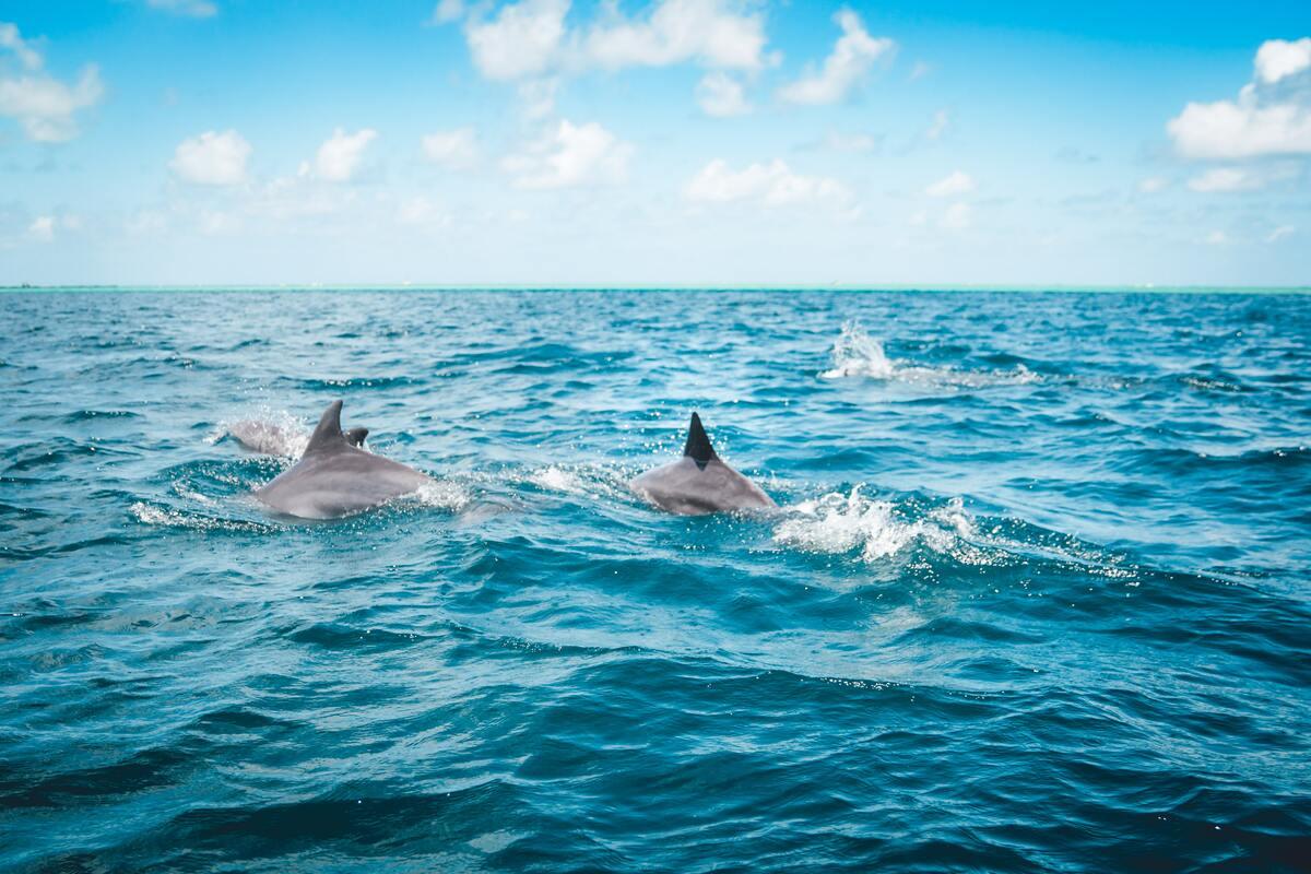 dauphins dans l'eau qui nagent